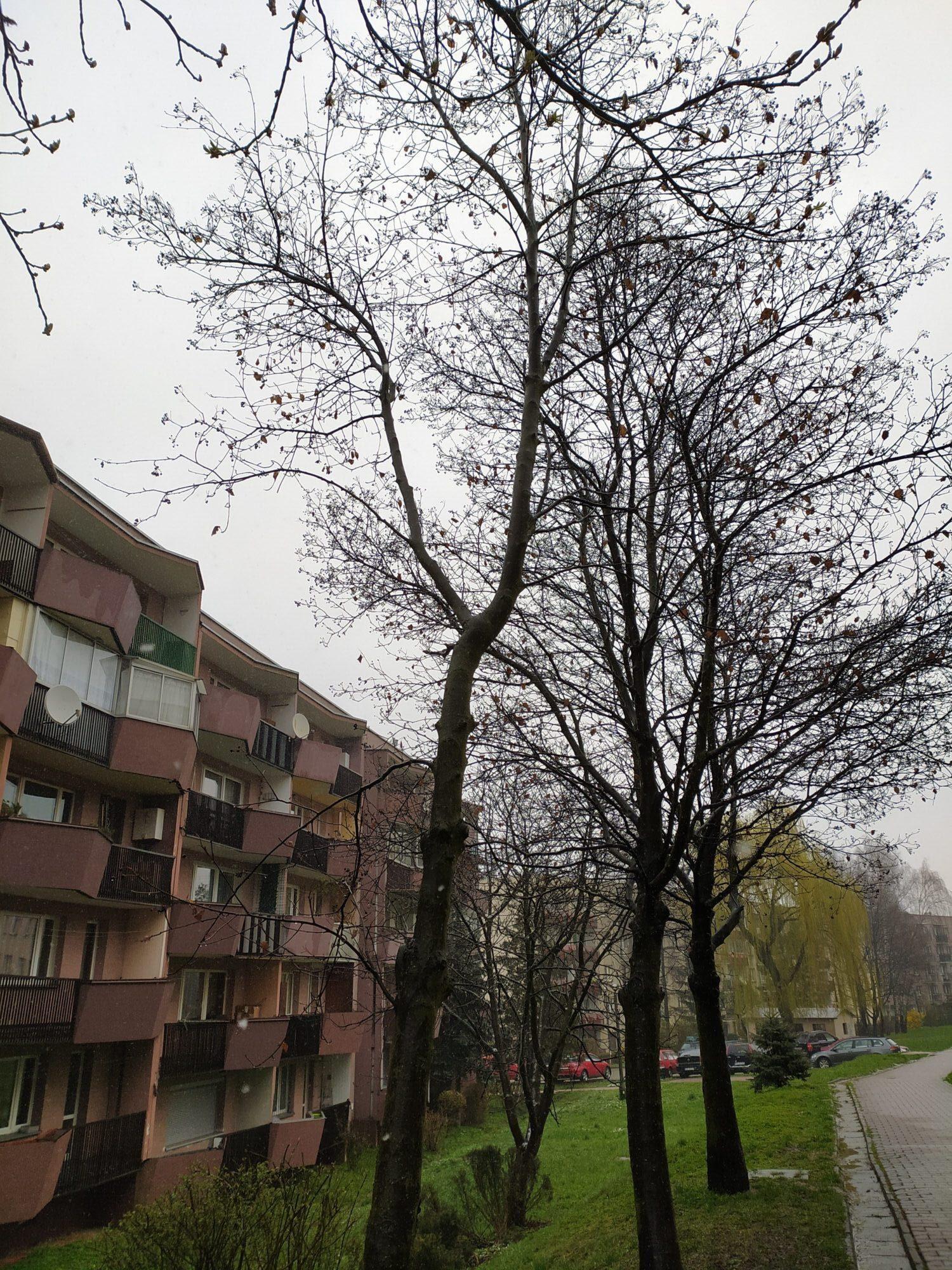 Oględziny drzew do usunięcia na Woli Duchackiej Wschód